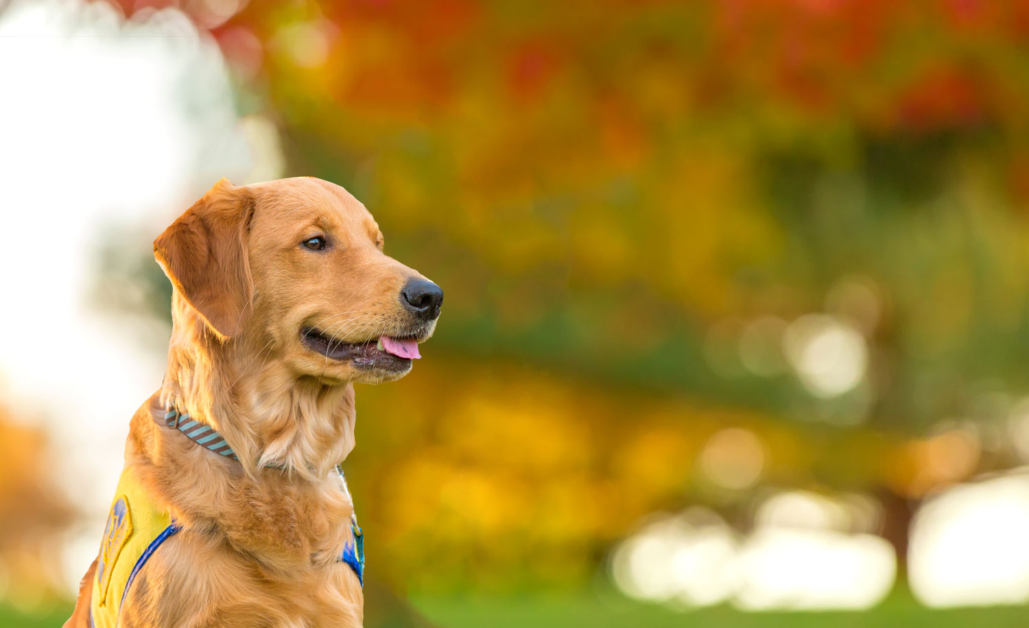 Golden puppy in training with cape sitting with fall leaves blurred in the background