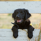 Black puppy with paws over fence board