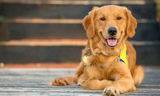 Smiling Golden Retriever Dog