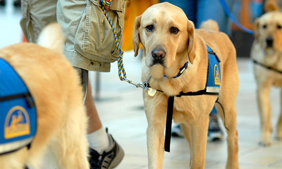 Service dogs walking with handlers