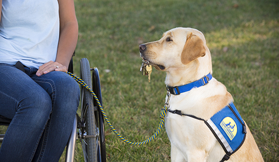 Yellow service dog holds keys in mouth for graduate in wheelchair