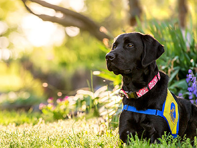 Black lab CCI puppy lays in sunlight grass