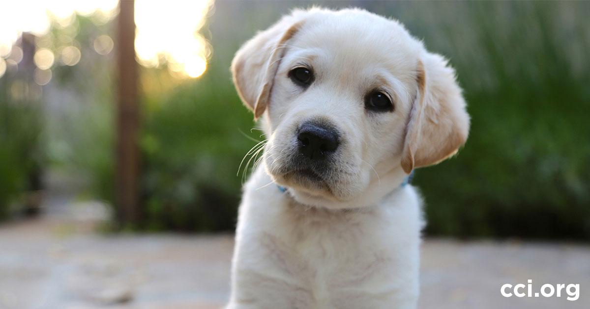 Cciorg Become A Volunteer Puppy Raiser