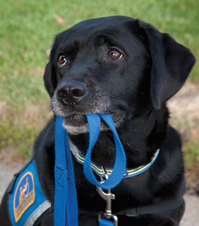 Black service dog with cape holds blue leash in its mouth