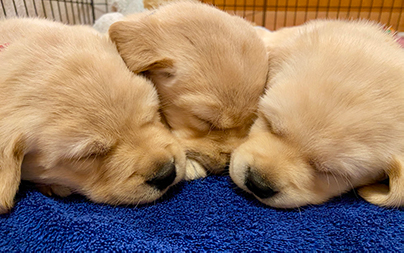 Three young puppies sleeping