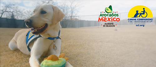 canine companions yellow service dog with stuffed avocado toy