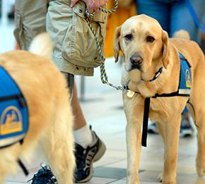 yellow service dog walking on leash
