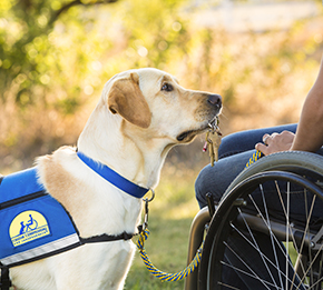 yellow Canine Companions service dog holding keys