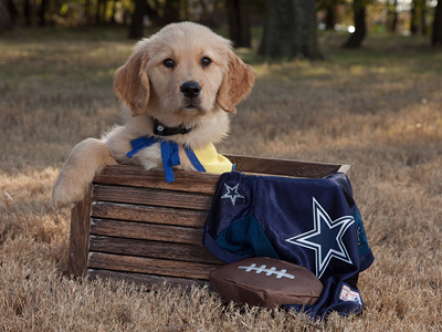 Yellow puppy sits in box with Dallas Cowboys jersey