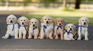 canine companions puppies lined up in a row