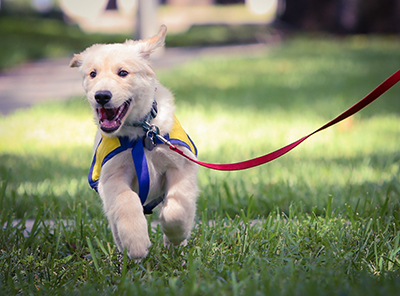 Puppy Running Small