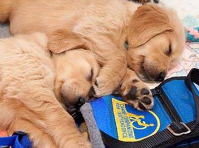 Puppies on Blue Vest