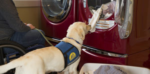 Canine Companions service dog pulling laundry out of a dryer