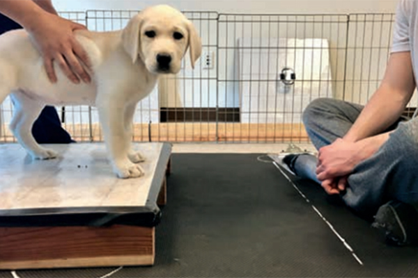 Canine Companions puppy standing on a box