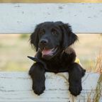Canine Companions puppy