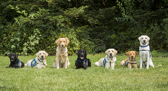 seven Canine Companions service dogs in the grass