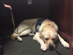 Canine Companions service dog sleeping