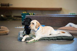 two Canine Companions service dogs on dog bed
