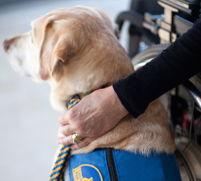 Close up of side of yellow canine companions service dog face