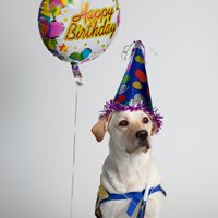 yellow dog in a birthday hat with a balloon