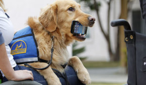 Service dog holds iPhone in mouth for person in wheelchair