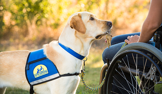 Yellow lab with keys in it's mouth stands next to person in wheelchair