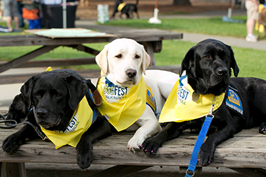 three Canine Companions service dogs wearing DogFest bandana