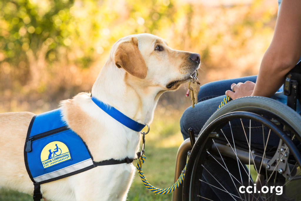 Canine Companions service dog holding key facing wheelchair