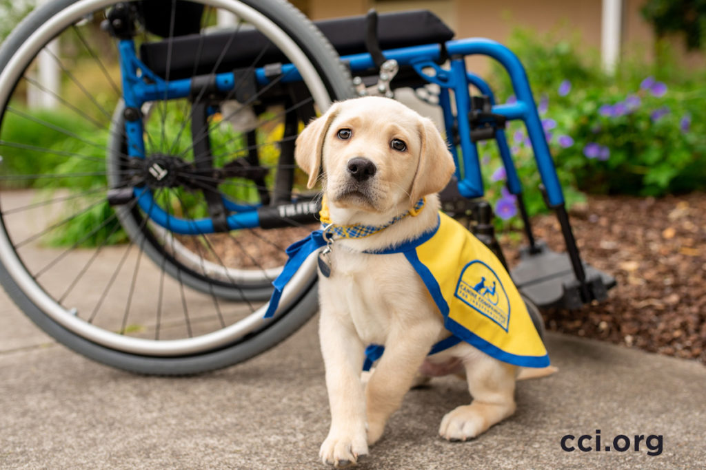 Canine Companions puppy Phill sitting infront of wheelchair
