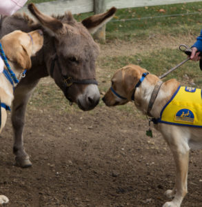 Donkey and 2 yellow labs