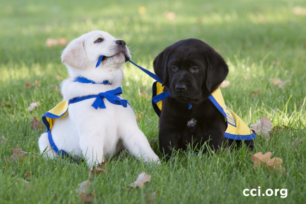 two Canine Companions pups sitting in grass with one pulling cape from other