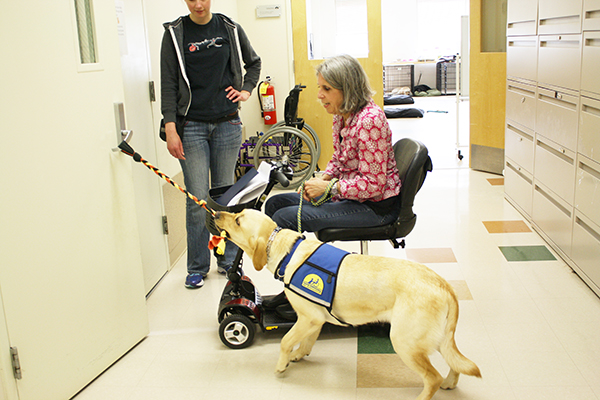 Canine Companions dog tugging open a door while standing next to woman in wheelchair