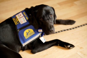 Canine Companions service dog laying down