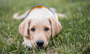 young dog lays in the grass