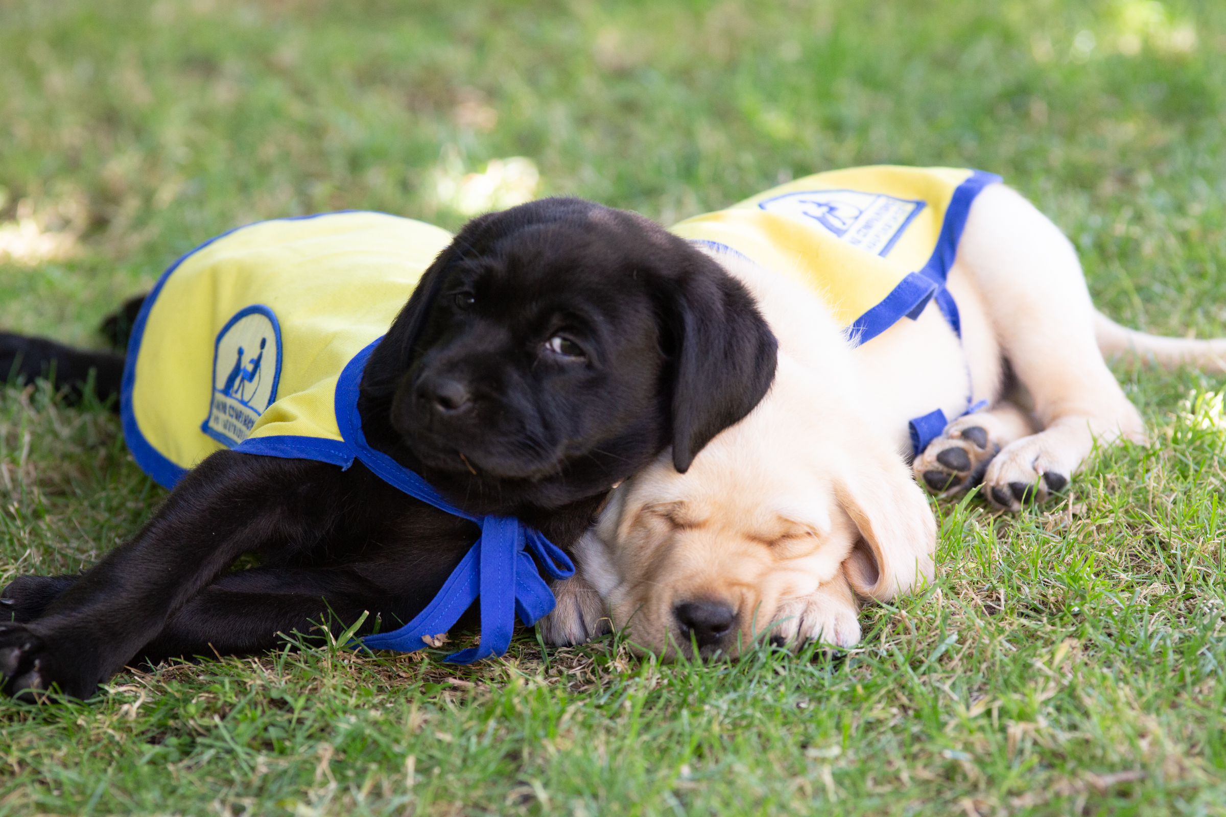 Black lab puppy laying on yellow lab puppy in Canine Companions puppy capes