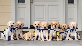 set of 8 Canine companions puppies on a porach