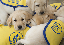 pile of yellow puppies