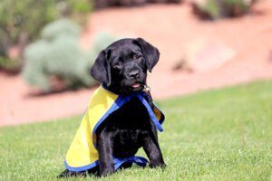 Canine Companions puppy sitting in grass wearing a vest