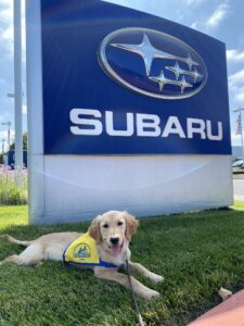 a golden retriever Canine Companions puppy lays on a grassy area in front of a Subaru dealership sign