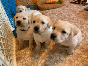 Four yellow puppies sitting