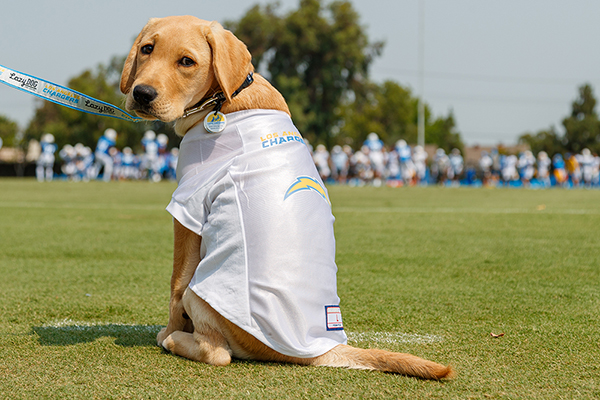 Bolt, a yellow Lab-Golden Retriever cross service dog in training sponsored by the Los Angeles Chargers, visits Training Camp on Friday, August 21, 2020 at Jack Hammett Sports Complex in Costa Mesa, CA.