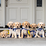 litter of Canine Companions puppies