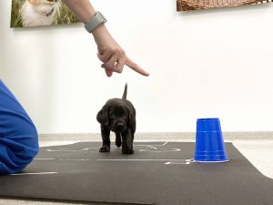 Canine Companions puppy in training