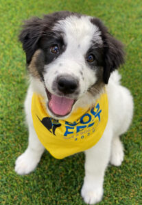 a white and black puppy in a yellow DogFest bandana sits on grass smiling