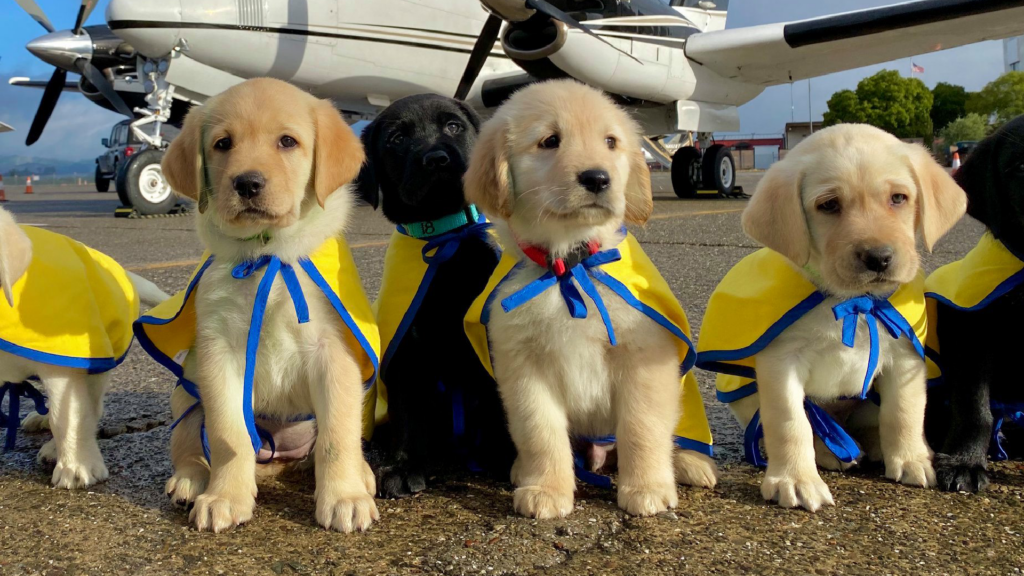 line of Canine Companions puppies in front of airplane