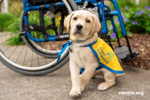 Canine Companions puppy seating next to a wheel chair