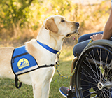 Canine Companions service dog holding keys in their mouth and looking at a person using a wheelchair.