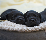 Two black Labrador puppies sleep cuddled in a brown and beige dog bed