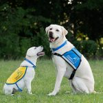 Young Canine Companions puppy sitting with Canine Companions service dog