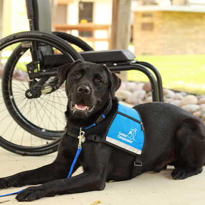 Black Labrador laying down in front of wheelchair